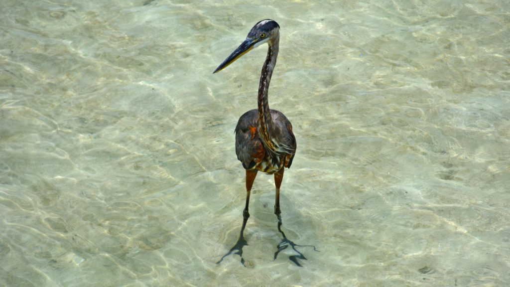 tropical birds of the bahamas