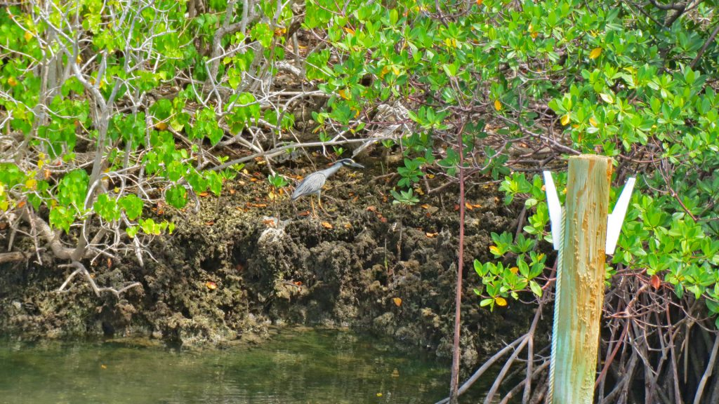 bird in the mangroves