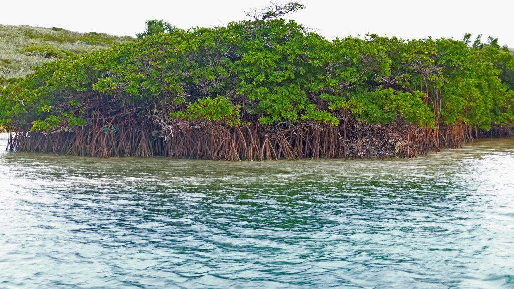 healthy mangroves in the bahamas