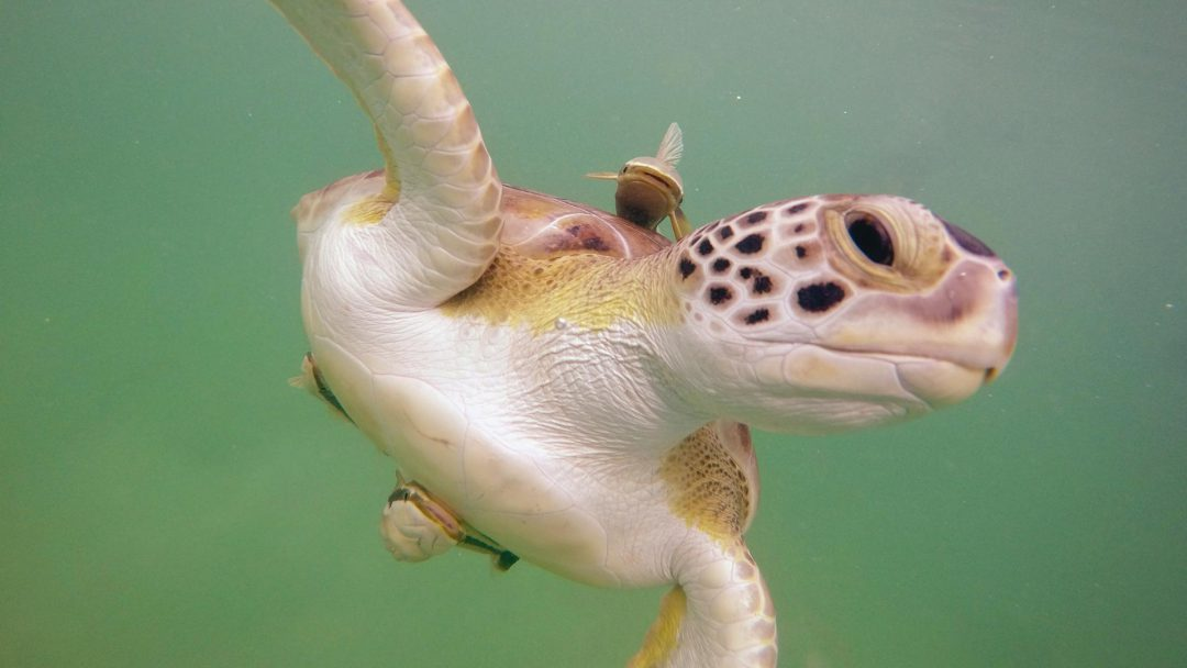 Sea Turtles of Tilloo Cay
